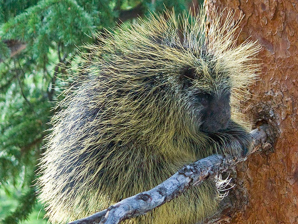Cute Animal Wallpapers Free Download Porcupine Wallpaper Animals Town