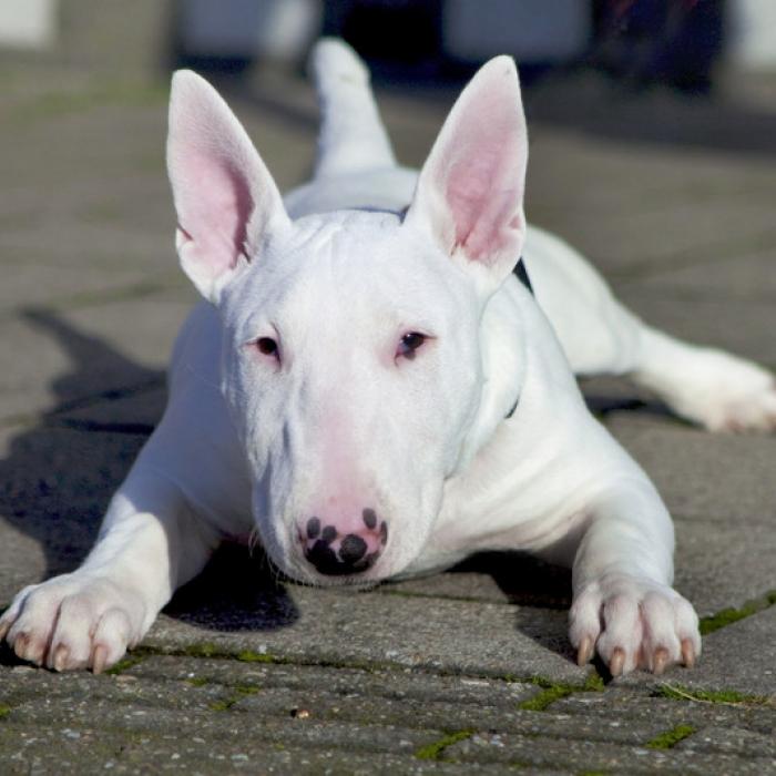 Pitbulls Fall Wallpaper Stunning Bull Terrier Puppies For Sale