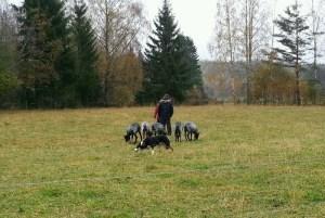 Foto: Johanna Lehman.Emmi har fin attityd i fårhagen.