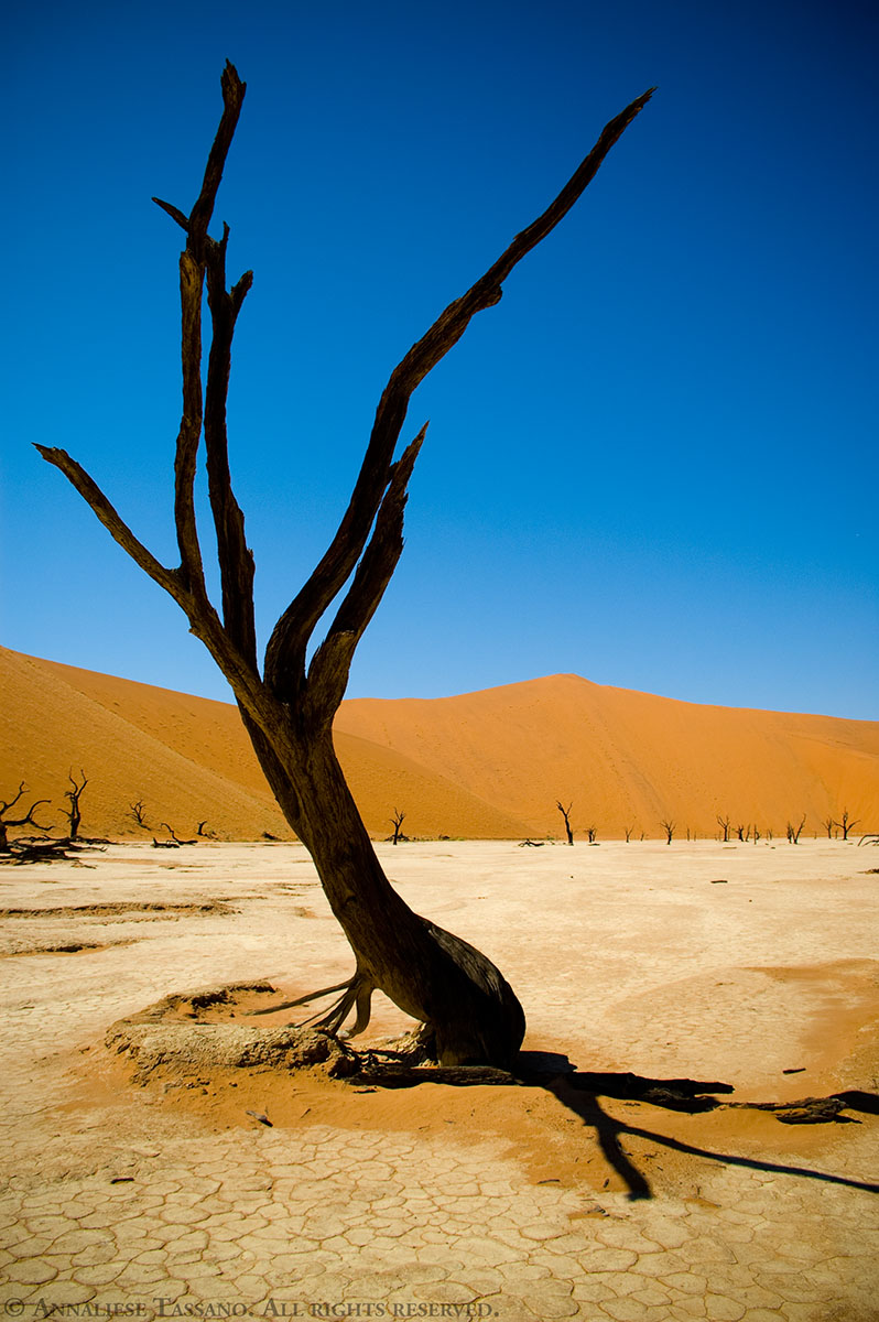 One of the famous, ancient dead trees found in the dunes of Dead Vlei, Sossusvlei, inside the Namib-Naukluft Park in Namibia.