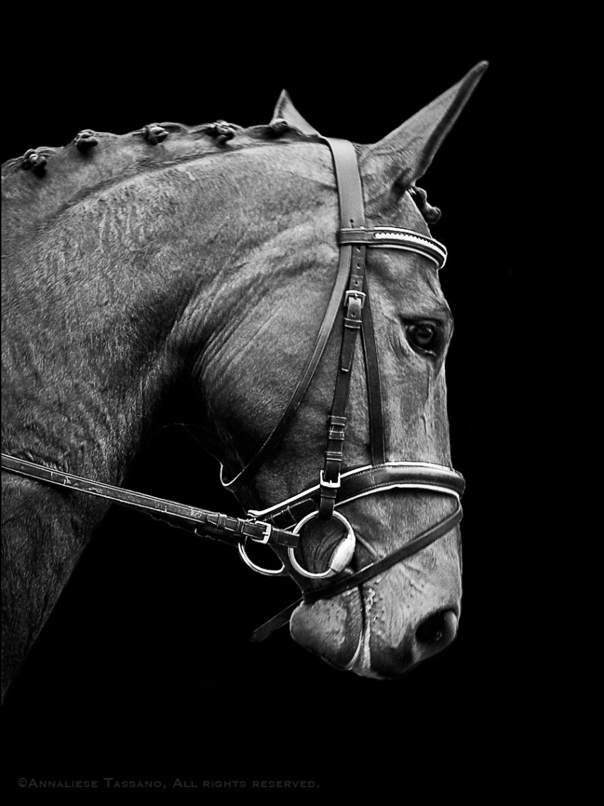A black and white image of a bay dressage horse in a bridle with a padded noseband, crank, and simple snaffle bit.