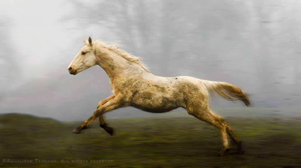 A half saddlebred, half thouroughbred palomino American Warmblood yearling gallops across a muddy field on a foggy day outside of Portland. Oregon.