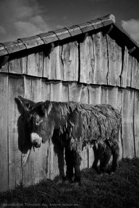 A solitary Poitou Donkey stands sleeping in the sun by a rough wooden barn on a sunny day. Black and white.
