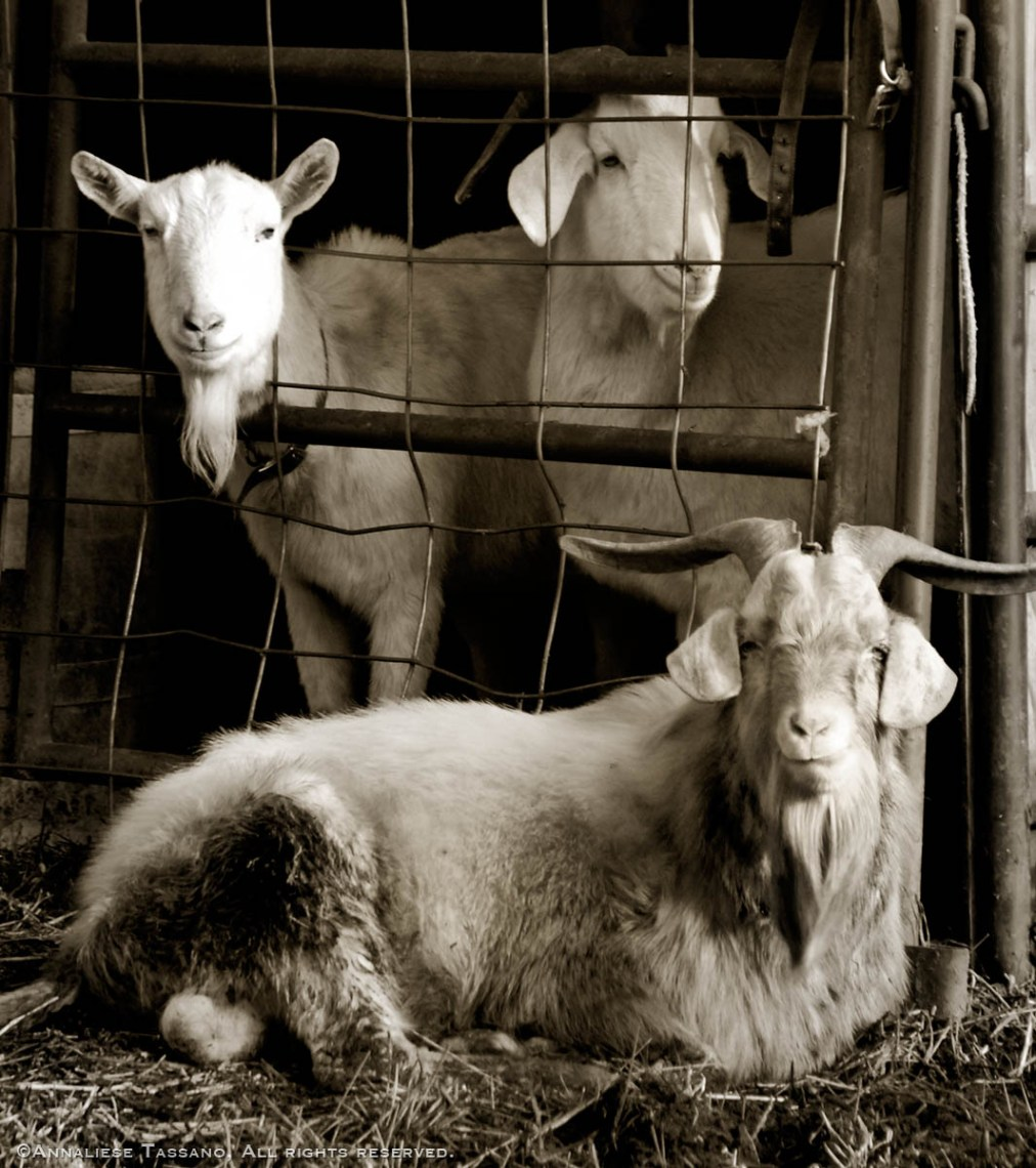 Three goats, two white Swiss Saanen dairy goats and one South African Boer goat with long curling horns.
