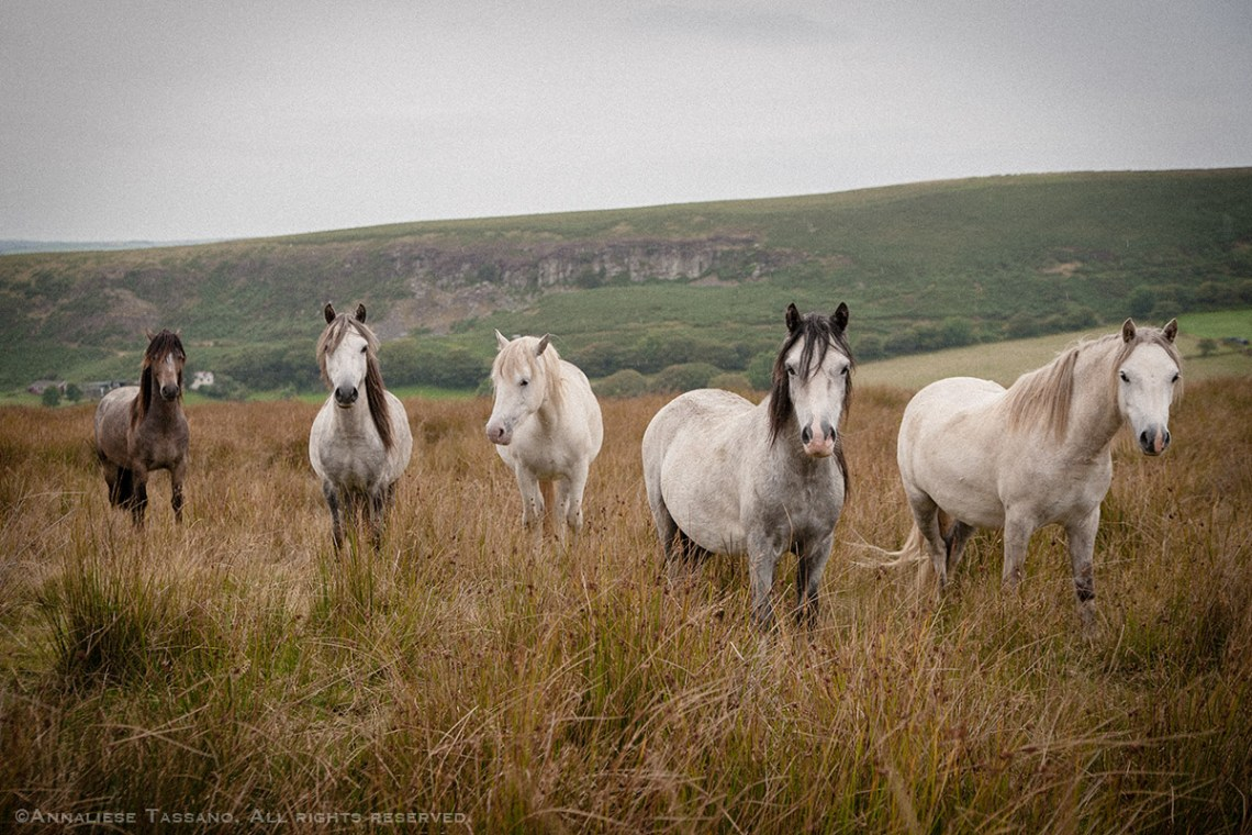 A herd of five wild gray and roan Welsh Ponies roam in the moors above Pontardulais, Wales.