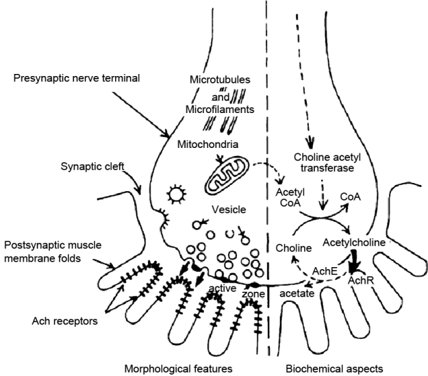 Electrophysiological study in neuromuscular junction disorders - neuromuscular junction