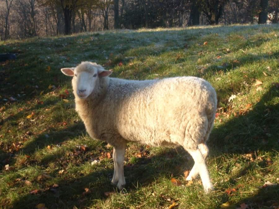 Seasonal Breeding in Sheep