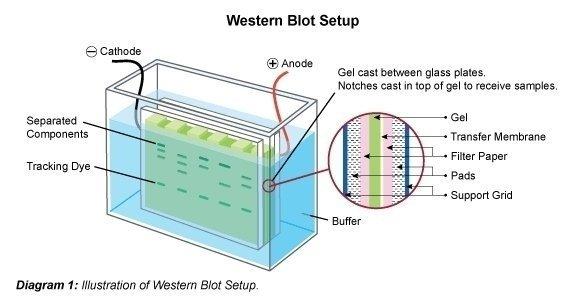 Western blotting (immunoblot) Gel electrophoresis for proteins