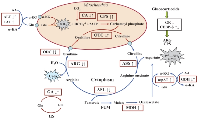 Pharmacodynamic Modeling of Acute and Chronic Effects of - urea cycle