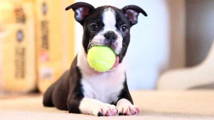 Cute Boston Terrier Wallpaper Razas De Perros Peque 241 Os Para Personas Mayores Todas Las