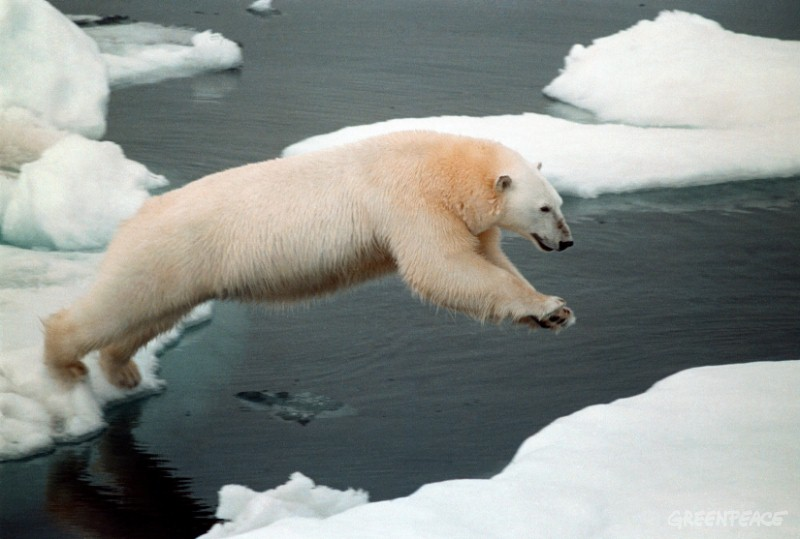 Why are polar bears becoming extinct, other than global warming and ice melting?