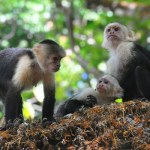 Wild Monkeys Are Developing Strong Tools