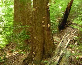 Arborist Reports image of tree mushrooms for Apical Tree Care West Vancouver BC