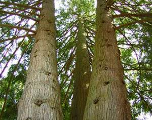 Image of tree for Tree Preservation for construction and development for Apical Tree Care West Vancouver BC