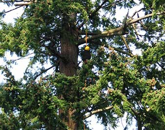 Image of an arborists in a tree for Tree Consulting for Apical Tree Care West Vancouver BC
