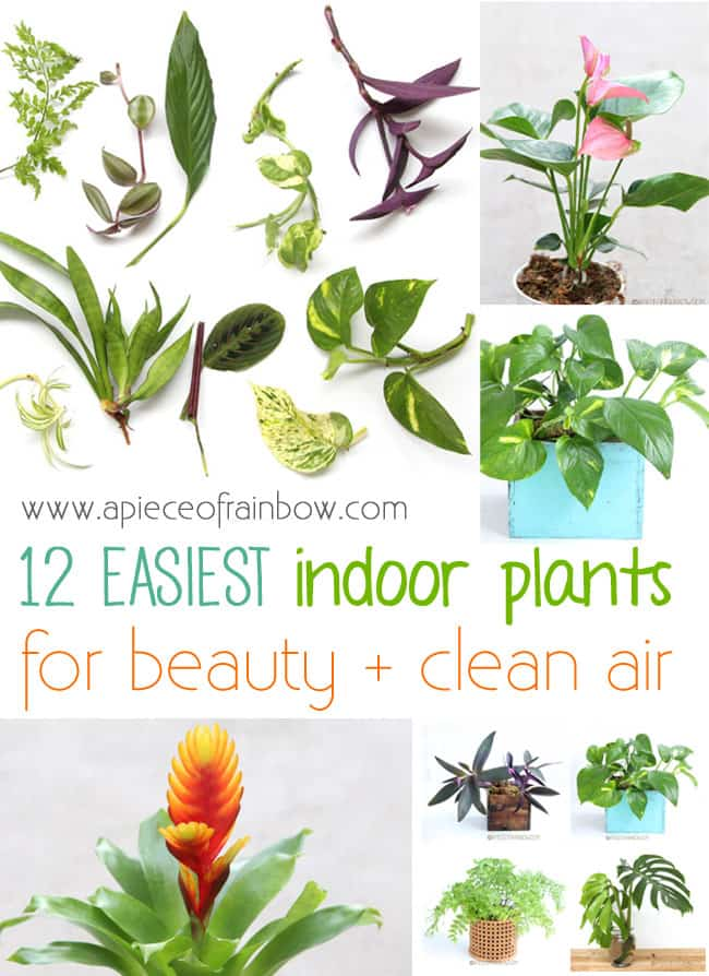 In Love With Fiddle Leaf Fig, And How To Grow It From Cuttings - A