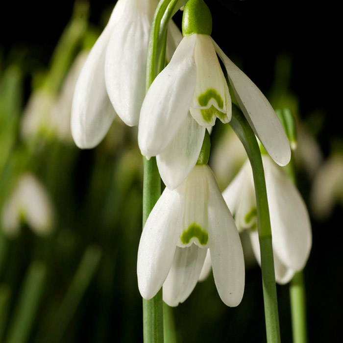 Early Fall Hd Wallpaper 10 Tips On Photographing Snowdrops Apogee Photo Magazine