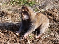 The Camas Pocket Gopher