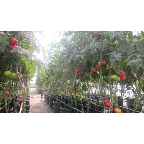 Medium Crop Of Tomato Plant Spacing