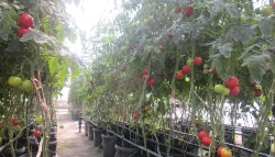 Small Of Tomato Plant Spacing