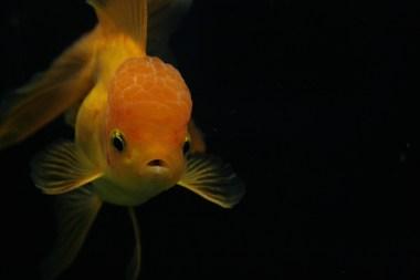 Voor sluierstaartgoudvissen is 80 liter per vis geen overbodige luxe.