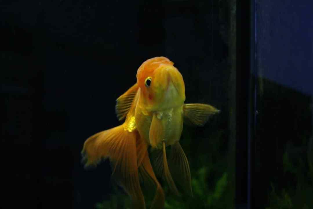 oranda goudvis