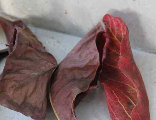 indian almond leaf
