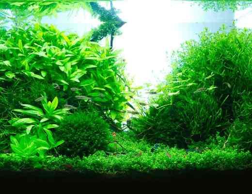 aquarium moss
