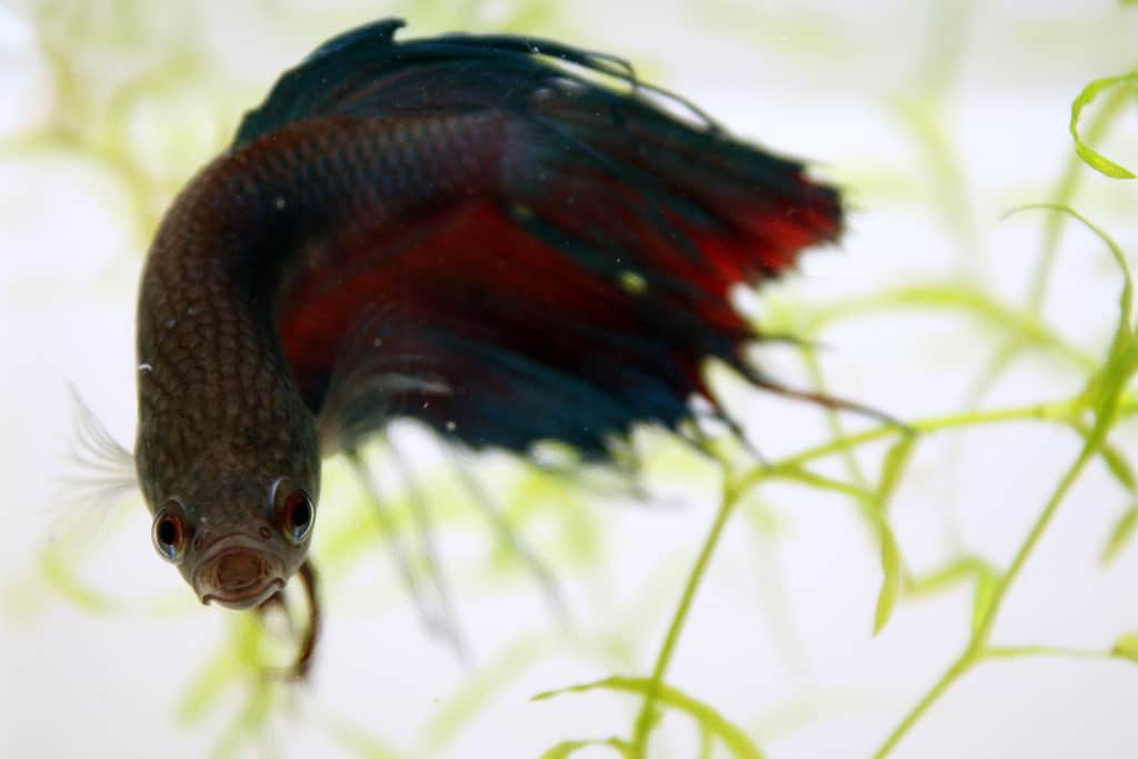 Feeding caring for your fish while on vacation aquariadise for Feeding betta fish