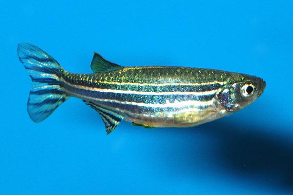 Zebra fish, Zebra danio