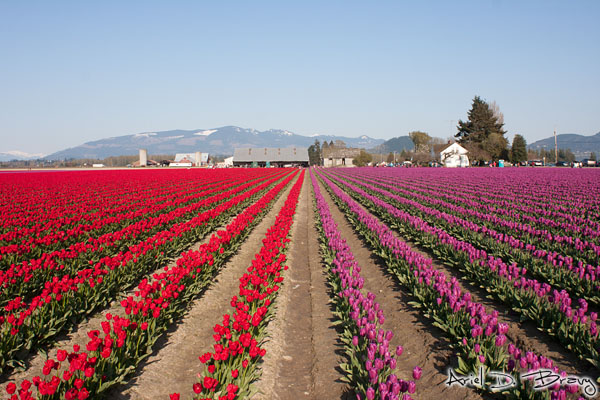 Spaced out rows of tulips