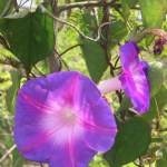 Morning Glory. It's native cousin grows along beaches and apparently relieves jellyfish stings. Hopefully we won't need to test out this claim.