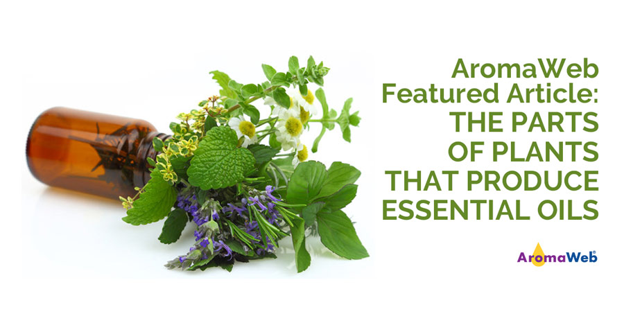 Parts of Plants That Produce Essential Oil AromaWeb