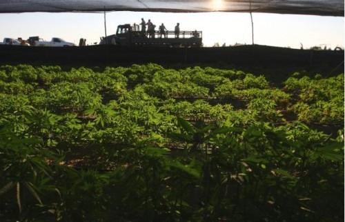 A Maior Plantação De Maconha Já Descoberta 06