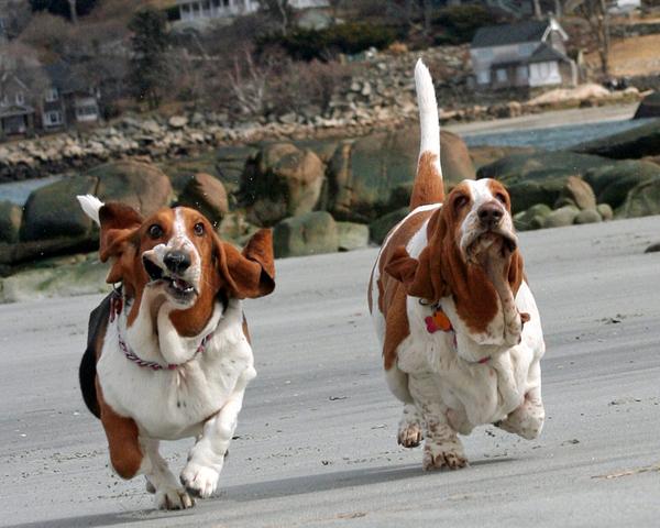 21 fotos de cães Basset Hounds correndo!
