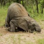 Elefantes e algumas frutinhas de marula
