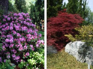 Rhododendrons & Japanese Maples
