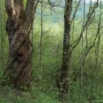 Weide im Frühlingswald