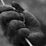 Hand eines Gorillas