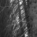 Fichtenäste im Gegenlicht