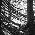 Fichte im Bergwald