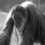 Orang Utan im Tierpark Hellabrunn