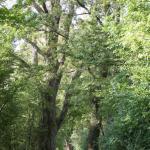 Baumriesen im Naturschutzgebiet Feldwies