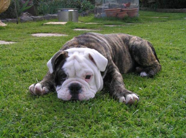 Bulldog breeds: Aussie bulldog
