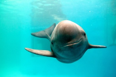 Yangtze porpoise