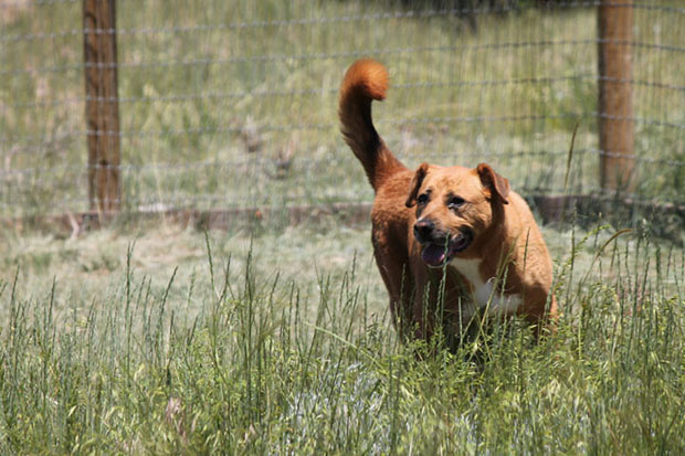 Odie loves to play despite his arthritic condition. Photo courtesy Kindness Ranch Animal Sanctuary