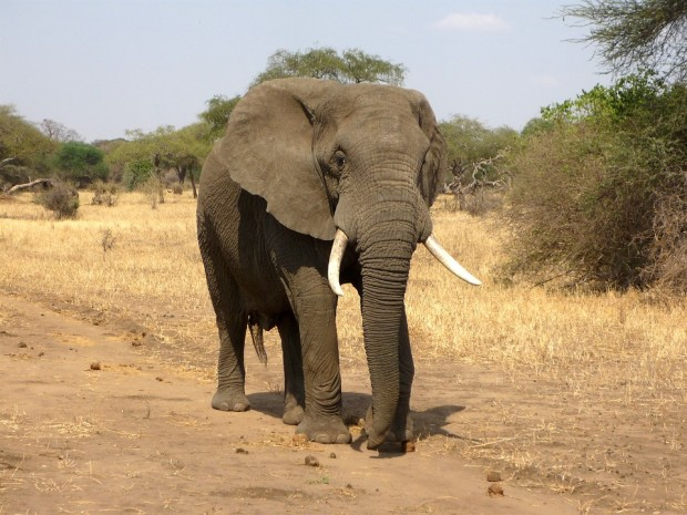 bees: picture of an elephant