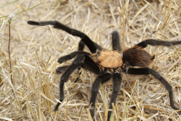 Venomous: Tarantulas aren't venomous