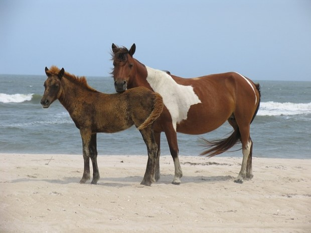 Photo of wild horses at Assateague Island