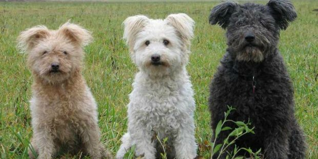 Pumi-The-Newest-Kennel-Club-Member-animals-dogs